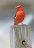 Scarlet Tanager On A Dock