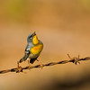 Northern Parula singing its heart out, Florida
