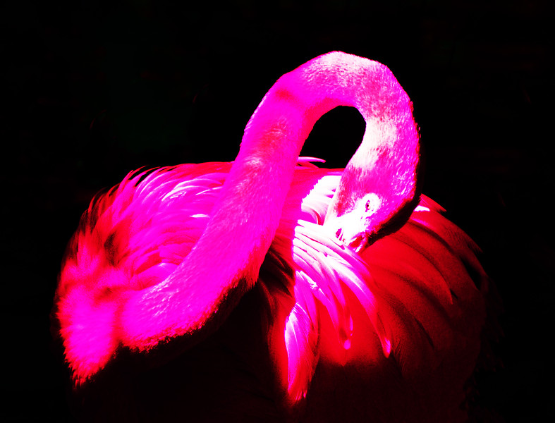 STYLIZED PHOTO OF AN AMERICAN FLAMINGO
