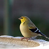Goldfinch Chillin At The Bird Bath View 2