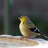 Goldfinch Chillin At The Bird Bath View 2