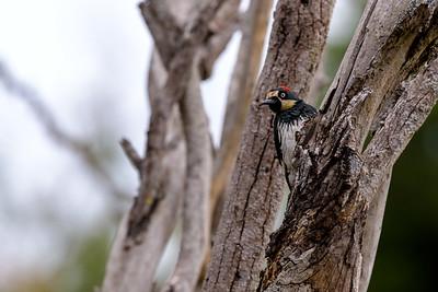 Acorn Woodpecker 3