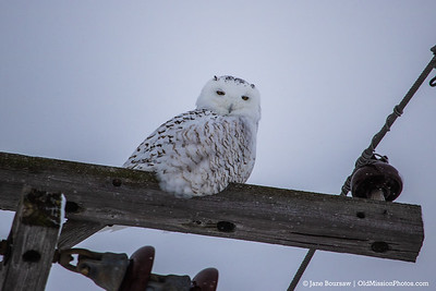 Snowy Owl on Center Road