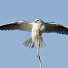 Black-shouldered Kite, The Spit, Gold Coast, Qld