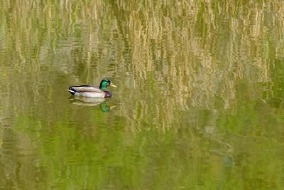 Mallard and Reflections