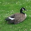 Branta canadensis - Canada goose 1