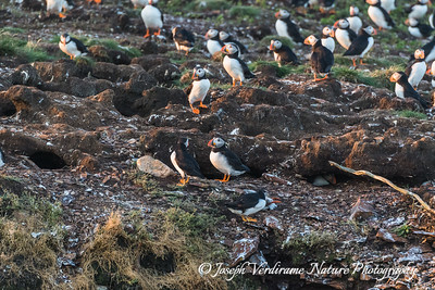 Puffin colony and nests