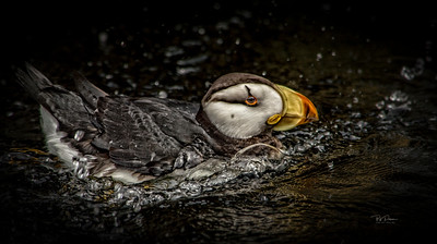 Puffin Splash
