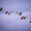 Sandhill Cranes #3