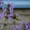 Hummingbird on Monhegan Island