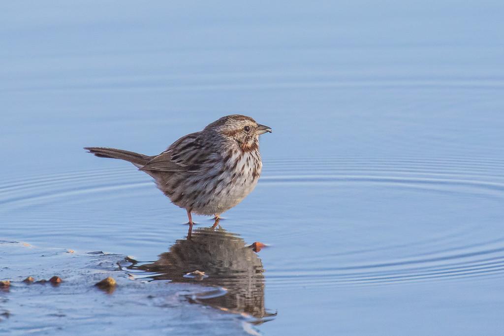IMAGE: https://photos.smugmug.com/Birds/i-GKSSdWK/0/23853d70/XL/122A5024-XL.jpg