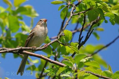 Field Sparrow Spizella pusilla