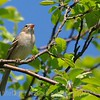 Field Sparrow<br /> Spizella pusilla