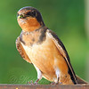Papa Barn Swallow Tells Me To Back Up More So He Can Go Feed The Babies