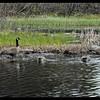 Dabbling in the Marsh