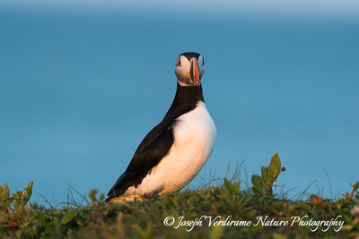 Puffin portrai (2)