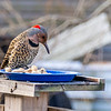Woodpecker--2