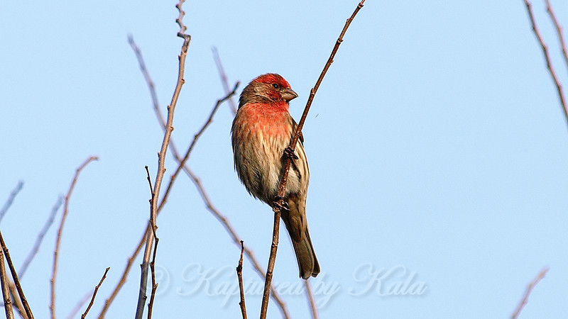 Male House Finch #1 View 2