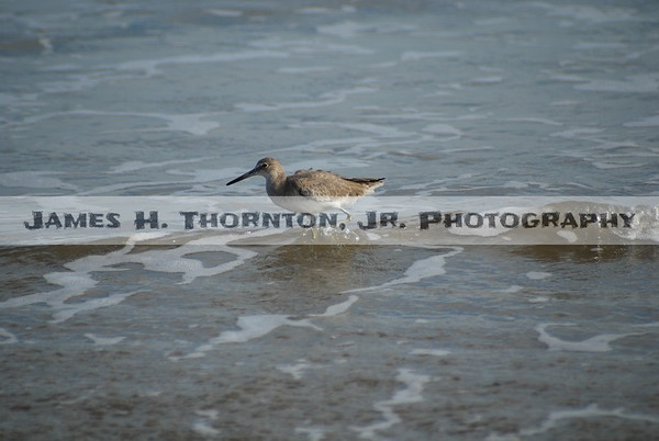 Willet on Galveston Beach