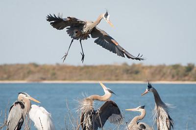 Great Blue Herons, Aransas Wildlife Refuge, Texas.
