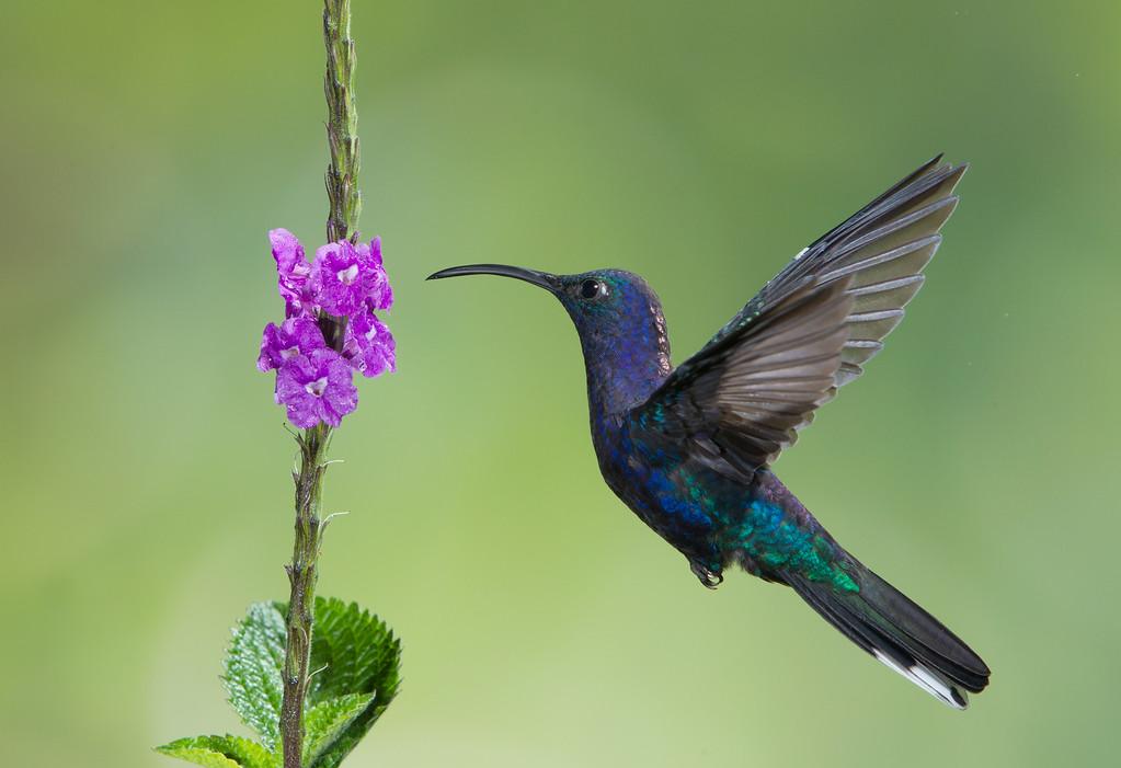 violet saber wing hummingbird