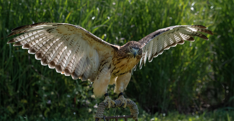 Red-Tailed Hawk wings up