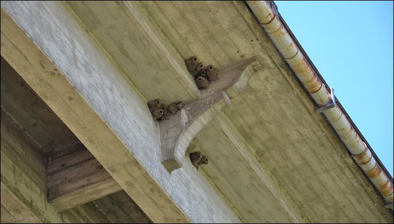 Cliff Swallow Nests ~ Hirundo pyrrhonota