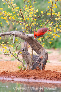 Cardinal and Rabbit