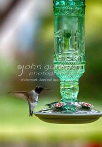 Hummingbird-03
