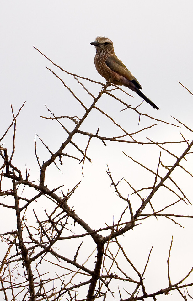 Rufus-crowned Roller.<br /> <br /> Location: Tsavo West National Park, Kenya<br /> <br /> Lens used: Canon 100-400mm f4.5-5.6 IS
