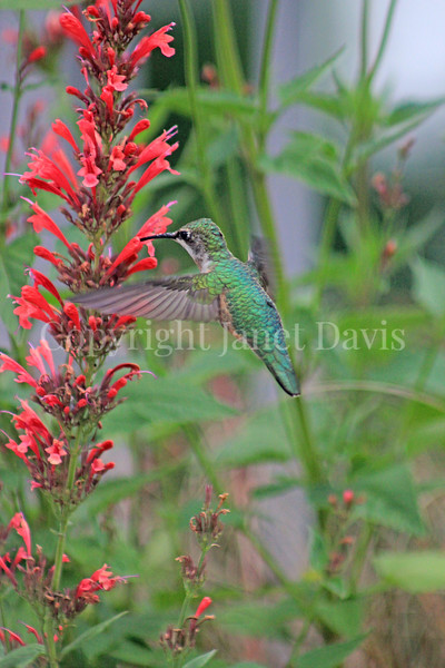 Archilochus colubris – Ruby throated hummingbird on red Agastache 2