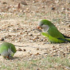 Monk Parakeets Eating Acorns View 3