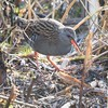 Water Rail at Farmoor 18 Feb 2017