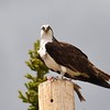 Osprey with his Fish