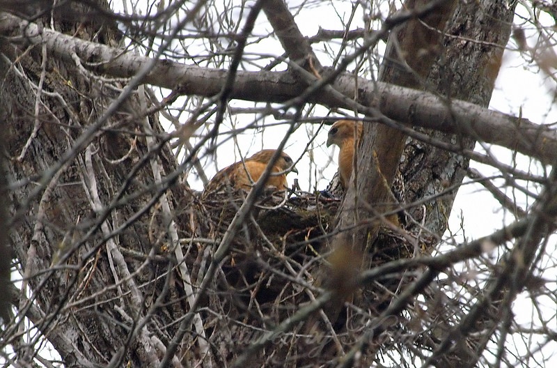 Hidden Hawk Nest