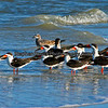 Black Skimmers, Bowditch Park, Fort Myers Beach, Florida.