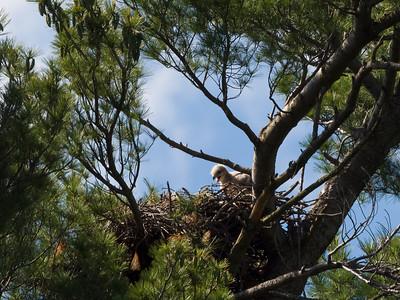 Precious Hawkbabies