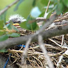 Baby Western Kingbirds