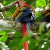 Ara macao – Scarlet macaw 1