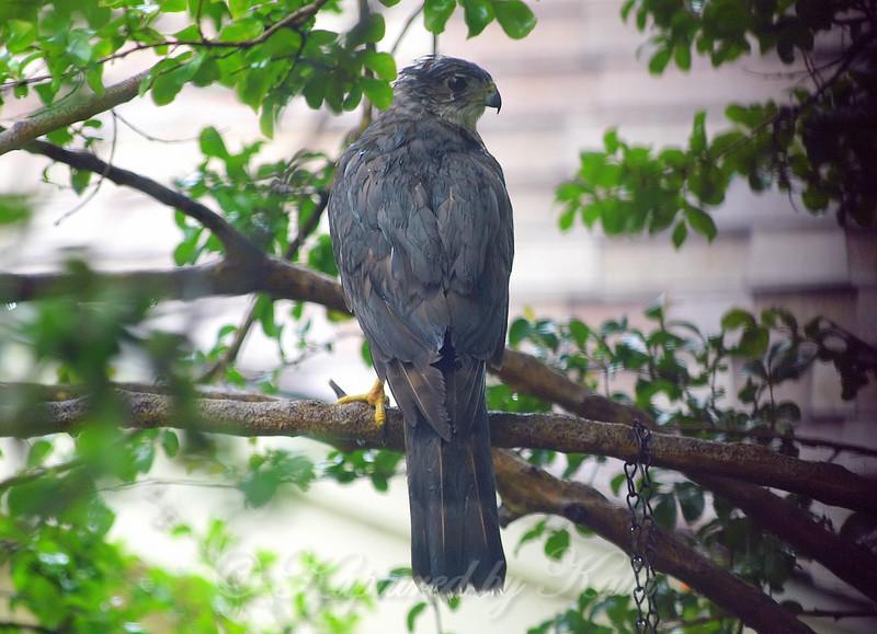 Sharp-shinned Hawk In A Rainstorm