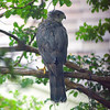 Sharp-shinned Hawk In A Rainstorm