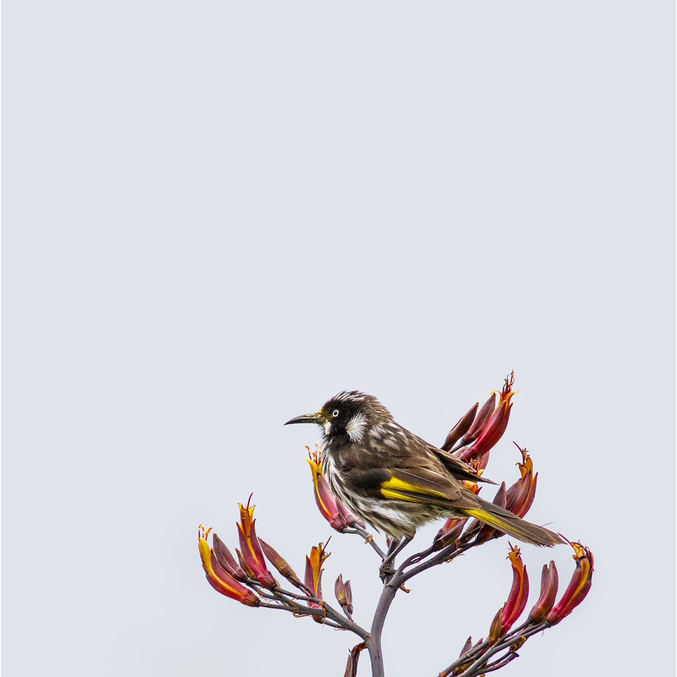 New Holland Honeyeater (Phylidonyris novaehollandiae) - Jamieson, Victoria
