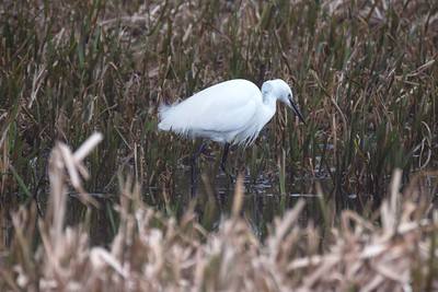 Little Egret at Freemans Marsh 21-02-2018 2