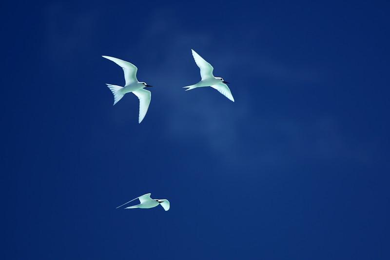 White Tern, Le Méridien Bora Bora, Motu Tape, Bora Bora, Society Islands of French Polynesia