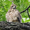 Baby Hawk Close-Up View 2