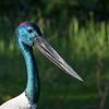 Jabiru Stork (Ephippiorhynchus asiaticus)