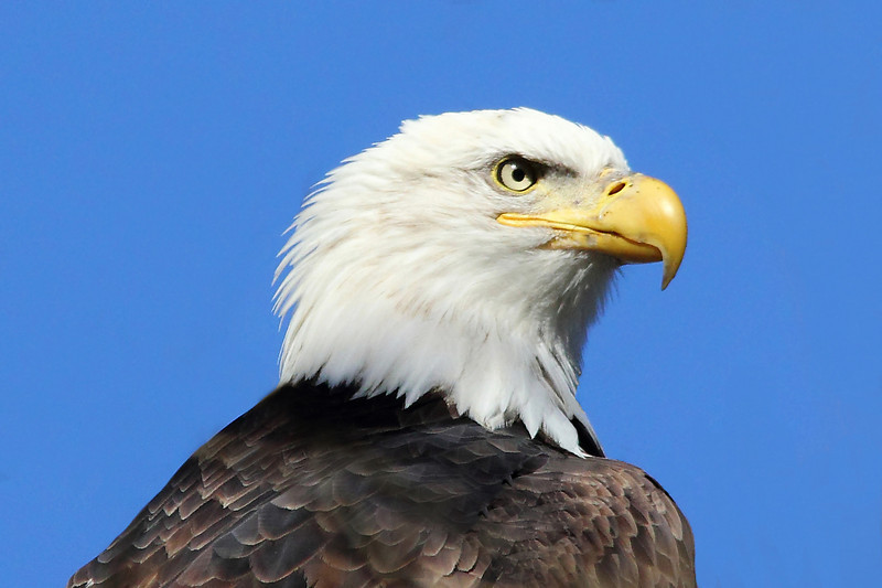 Bald Eagle, Conowingo Dam, MD