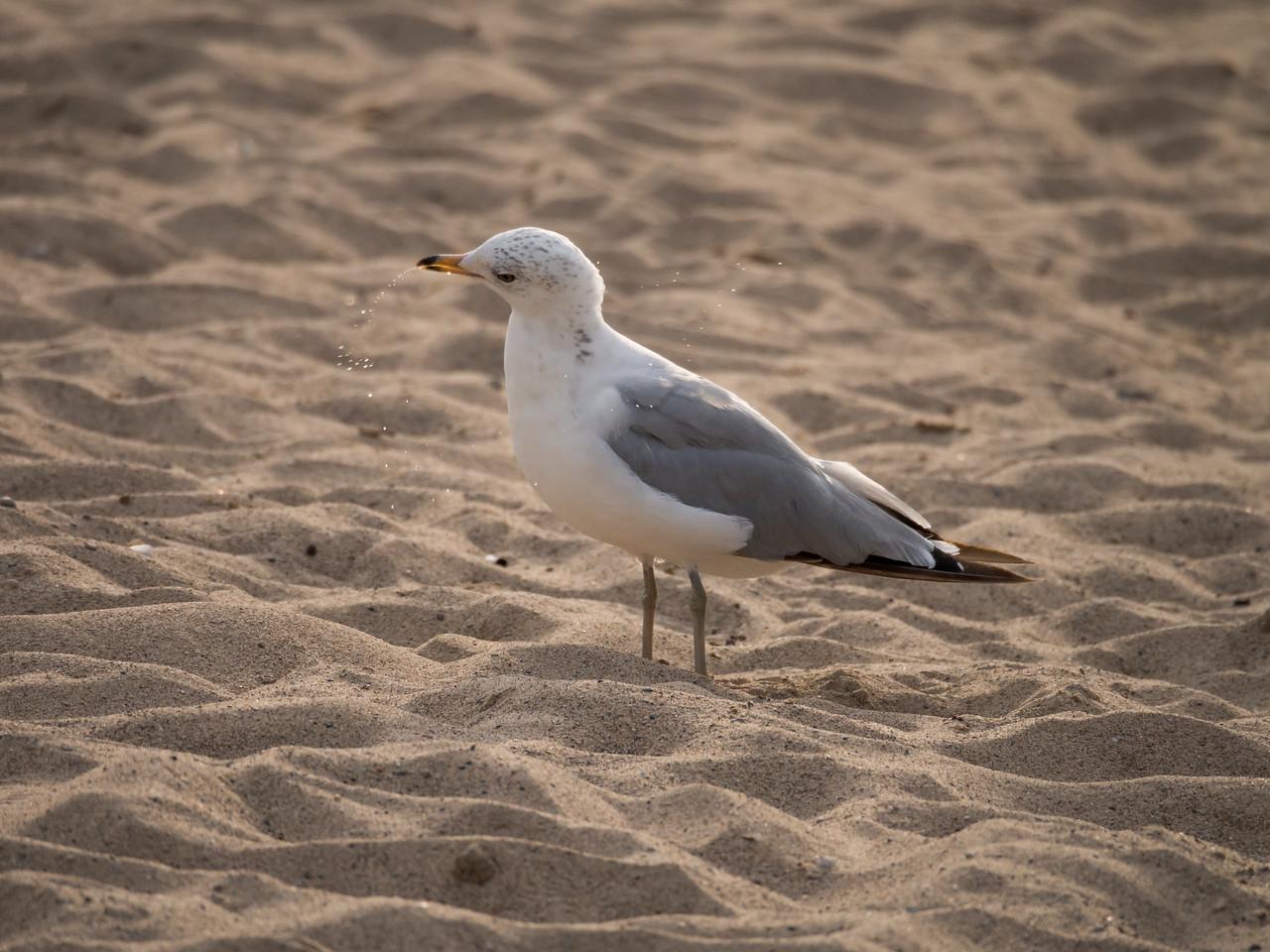 Ring-Billed Gull spit take
