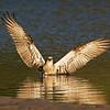 Eastern Osprey (Pandion haliaetus), Tallebudgeraba Creek, Burleigh Heads, Queensland.
