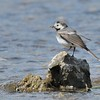 Pied Wagtail on the Stream